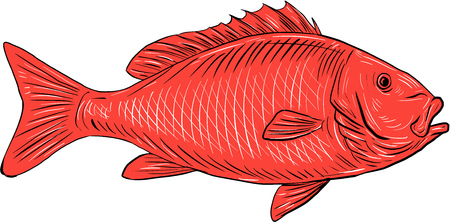 Drawing sketch style illustration of an Australasian snapper, silver seabream, Pagrus auratus, a species of porgie found in coastal waters of Australia, Philippines, Indonesia, China, Taiwan, Japan and New Zealand swimming viewed from the side set on isol