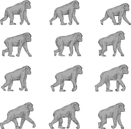 スケッチ スタイルを図面で行う分離の白い背景の設定側からみた歩行チンパンジーのイラストのセットをコレクション。