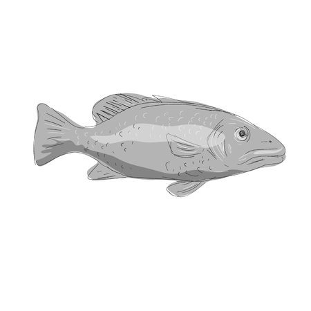 Illustration of a Schoolmaster Snapper Fish viewed from side done in hand sketch Drawing style. Illustration