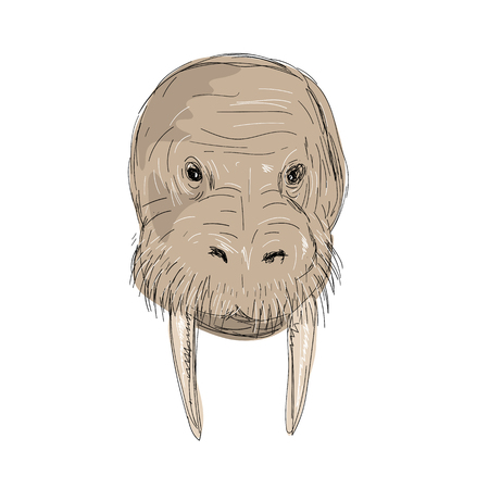 Illustration of a Walrus Head front view done in hand sketch Drawing style.
