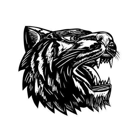 Scratchboard style illustration of a tiger head growling viewed from side black and white done on scraperboard on isolated background.