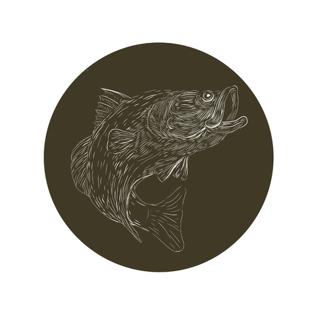 Scratchboard style illustration of a Largemouth Bass,  barramundi ,Asian sea bass or Lates calcarifer jumping updone on scraperboard on isolated background. Ilustração