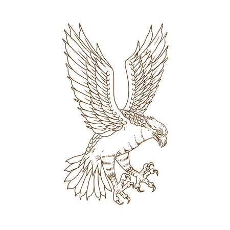 Drawing sketch style illustration of osprey or sea hawk. Swooping down flying viewed from side on isolated background. Illustration