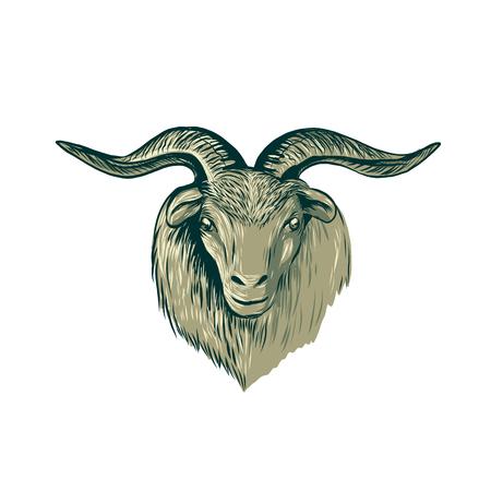 正面から見たデッサン スケッチ スタイル イラスト カシミヤ山羊の頭の  イラスト・ベクター素材