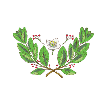 Drawing sketch style illustration of leaf, flower and fruit of yerba mate, a species of the holly family, with branches crossed. Illustration