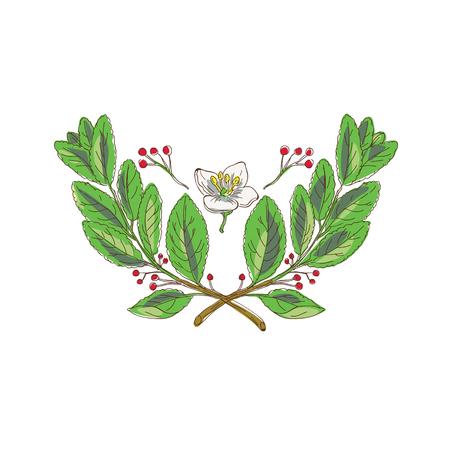 Zeichnungsskizzen-Artillustration des Blattes, der Blume und der Frucht von yerba Gehilfe, Spezies der Stechpalmenfamilie, wenn die Niederlassungen gekreuzt sind.