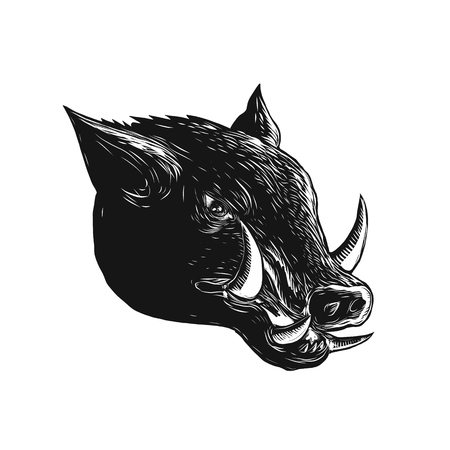 Scratchboard style illustration of a Razorback ,Wild Boar, hog or pig head viewed from side done on scraperboard on isolated background.