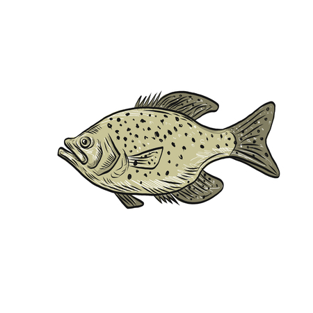 Drawing sketch style illustration of a crappie fish, papermouths, strawberry bass, speckled bass, specks, speckled perch, crappie bass, calico bass, a North American fresh water fish viewed from side. Illustration