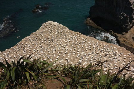A colony of Australasian gannet, a large, mostly coastal seabird with predominantly white plumage, long, pointed wings, a long neck and slender body shape,breeding and nesting at Waitakere, Muriwai in 스톡 콘텐츠