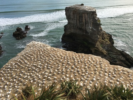 A colony of Australasian gannet, a large, mostly coastal seabird with predominantly white plumage, long, pointed wings, a long neck and slender body shape,breeding and nesting at Waitakere, Muriwai in New Zealand.