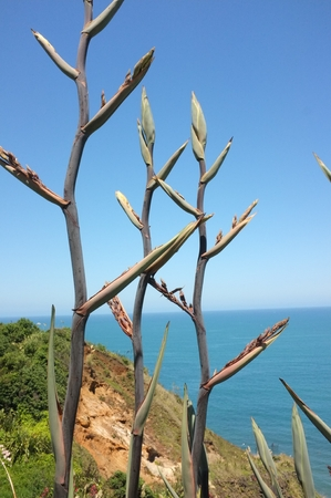 Photo of New Zealand flax, flax or swamp flax flower, commonly found in lowland wetlands, along rivers, and in coastal areas on estuaries, dunes and cliffs in bloom with Muriwai beach in background.
