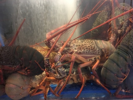 Photo of a rock lobster, red rock lobster, spiny rock lobster, langustas, langouste, also called sometimes called crayfish, sea crayfish, or crawfish in in Australia, New Zealand, Ireland, South Africa, and the Bahamas.