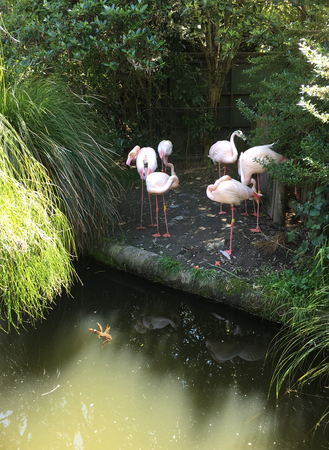 Photo of a flock of flamingos or flamingoes,  a type of wading bird in the family Phoenicopteridae, at the edge of a man-made pond or lake.