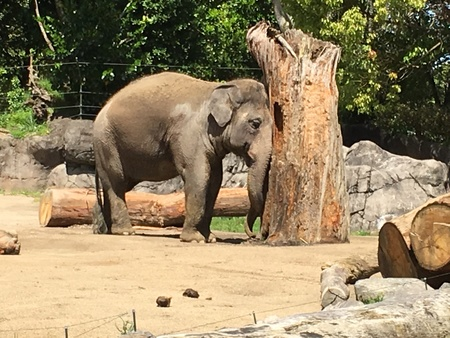 Photo an Asian, Asiatic or Indian elephant, Elephas maximus, , using a tree stump or trunk to scratch its head viewed from side.