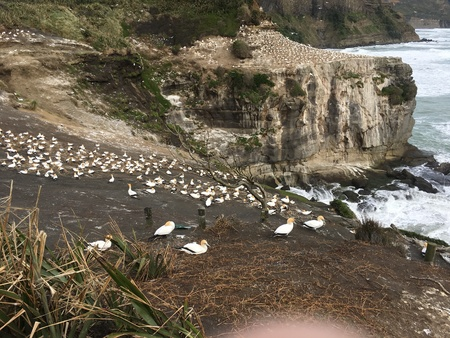 Photo of a gannet colony during breeding season in Muriwai Beach, New Zealand.