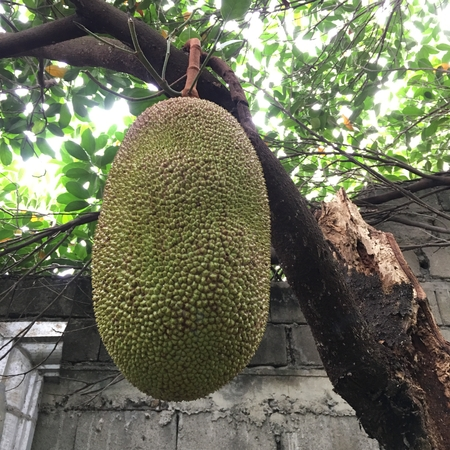 Photo of a young and unripe jackfruit, known as nangka or langka in the Filipino dialect or jack tree, fenne, jakfruit,  hanging on its tree trunk or branch.