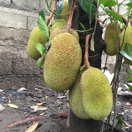 Photo of a young and unripe jackfruit, known as nangka or langka in the Filipino dialect or jack tree, fenne, jakfruit,  hanging on its tree trunk or branch. Stock Photo - 106216068