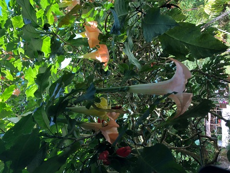 Photo of the flower of angels trumpets or Brugmansia, a genus of seven species of flowering plants in the family Solanaceae