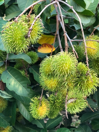 Photo of a young, green and unripe rambutan, red, plum-sized tropical fruit with soft spines and a slightly acidic taste native to  Malay-Indonesian region, and other regions of tropical Southeast Asia. Stock Photo