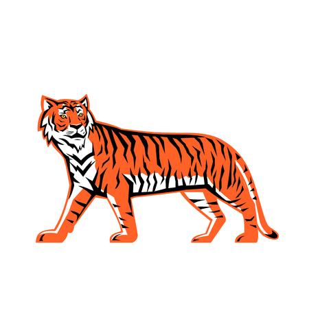 Sport-Maskottchen-Symbol Illustration eines Ganzkörper-Tigers aus der Bucht von Bengalen, ein asiatischer Tiger vom Festland, der von der Seite auf isoliertem Hintergrund im Retro-Stil betrachtet wird.