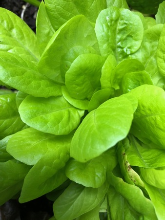 Photo of a green heirloom buttercrunch lettuce leaves viewed from the top planted in an urban home garden. Stockfoto