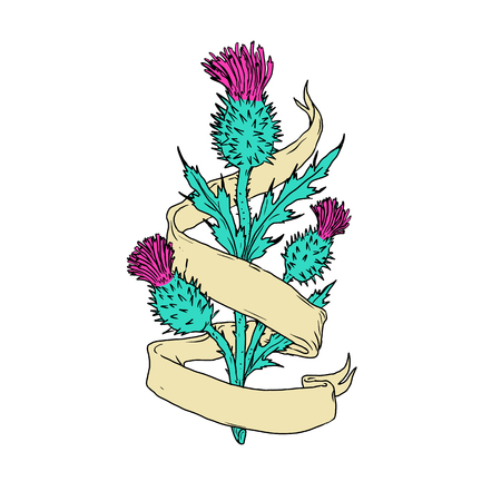 Color drawing sketch style illustration of a Scottish or Scotch thistle with ribbon or scroll wrap around on isolated white background.