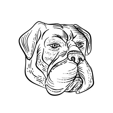 Etching style illustration of a bullmastiff, a large-sized domestic dog breed, with solid build and short muzzle like the molosser dog done on scraperboard scratchboard style in black and white. Illustration