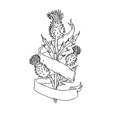 Drawing sketch style illustration of a Scottish thistle with ribbon or scroll wrap around on isolated white background.