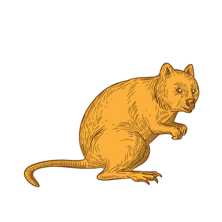 Drawing sketch style illustration of a quokka, Setonix brachyurus, a small macropod marsupial native to  Western Australia on isolated white background in color.