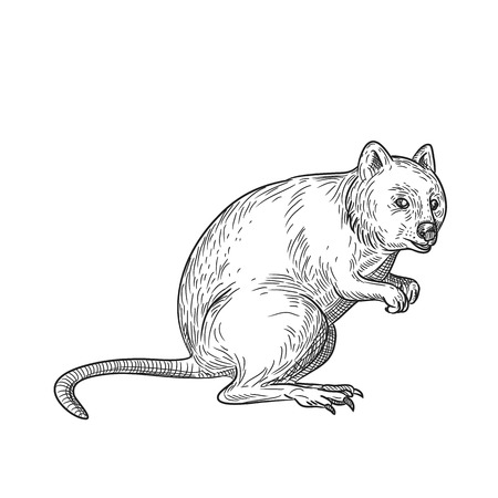 Drawing sketch style illustration of a quokka, Setonix brachyurus, a small macropod marsupial native to  Western Australia on isolated white background in black and white.