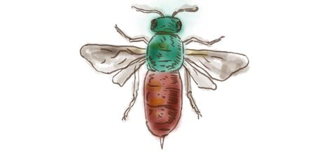 Watercolor Drawing of a Ruby Tailed Wasp on white.