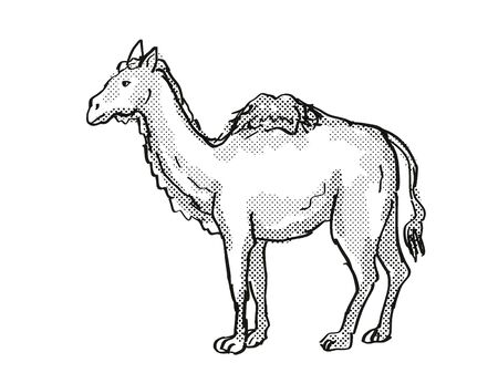 Retro cartoon style drawing of a Western Camel, an extinct North American wildlife species on isolated background done in black and white full body.