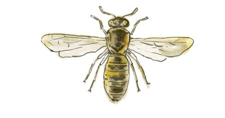Watercolor Drawing of a Spanish Pollen Wasp on white. Banco de Imagens