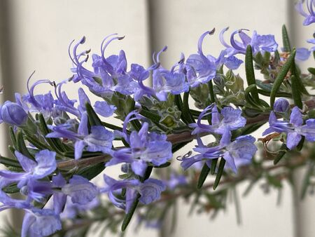 Photo of the rosemary flower, a plant that derives from Latin ros marinus or dew of the sea, also known as anthos.