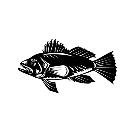 Retro woodcut style illustration of a black sea bass (Centropristis striata), an exclusively marine grouper viewed from side set in circle on isolated background done in black and white.