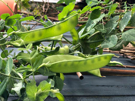 Photo of the plant, snow pea, Chinese pea or pois mangetout, an edible-pod pea with flat pods and thin pod walls, growing in an urban garden.