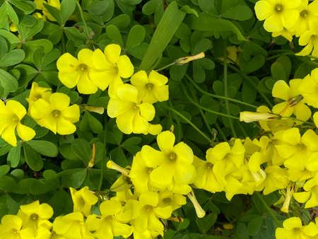 Photo of the flower of Bermuda-buttercup , South African wood-sorrel , Drooping wood-sorrel or Oxalis pes-caprae L Reklamní fotografie