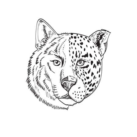 Drawing sketch style illustration head of a half timber wolf and half jaguar, panther or leopard viewed from front on isolated white background done in black and white.