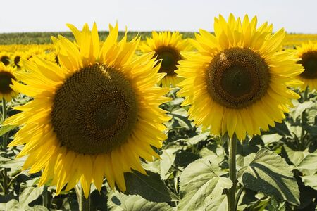 alf: Sunflowers at the agricultural farm in Serbia Stock Photo