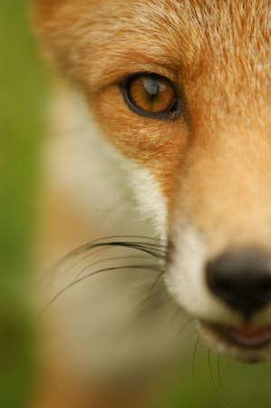 rudy: fox