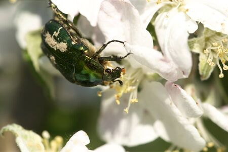 Rose chafer (Cetonia aurata) Stock Photo - 9417672