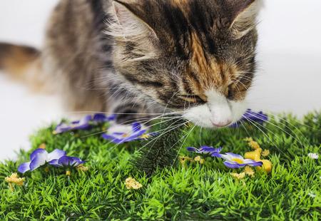 Beautiful cat crunching a plastic pine