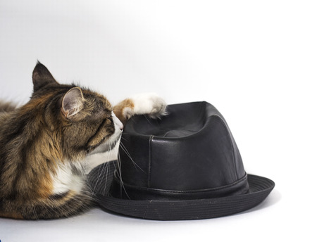 Beautiful cat playing with a black hat