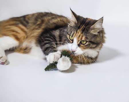 Beautiful cat playing with a plastic pine Stockfoto