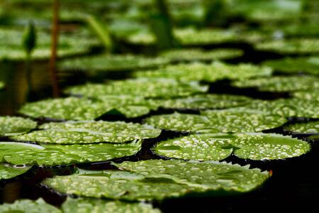 lotus leaf: Water drop on green lotus leaf
