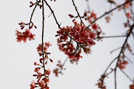chear: Cherry blossom Image