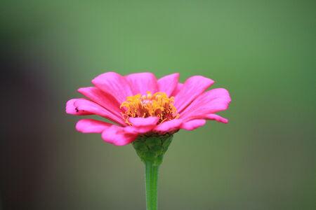 Isolate zinnia flower photo