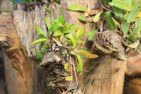 orchid tree: �rbol de orqu�dea en la madera