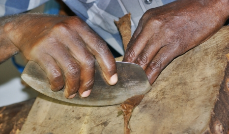 tobacco leaf: hands close up , cuban man is producing a cigar , cutting part of tobacco leafs