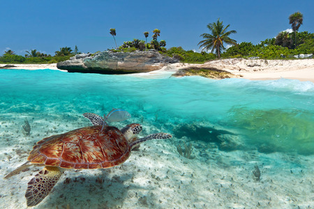 Caribbean Sea scenery with green turtle in Mexico